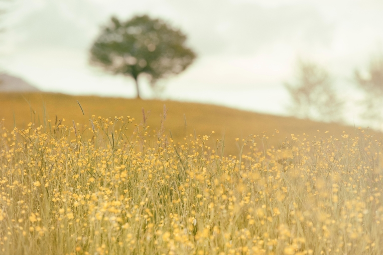 A Field of Yellow Flowers - Matteo Silvestri