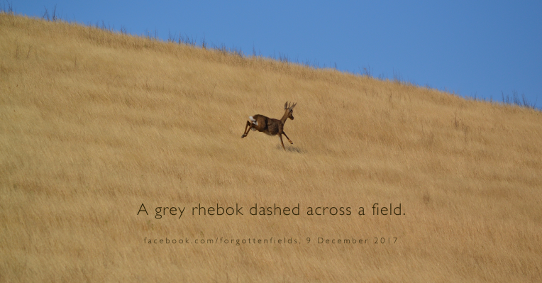 A grey rhebok dashing across a field.