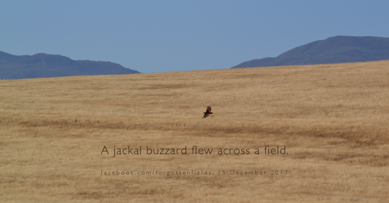 A jackal buzzard flying over a field.