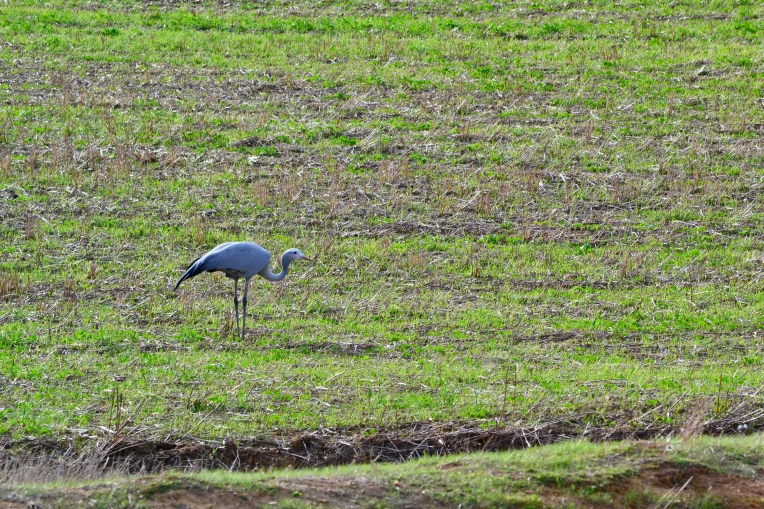 Paradise Crane in a Field, 8 June 2018. Copyright 2018 Forgotten Fields. All rights reserved.