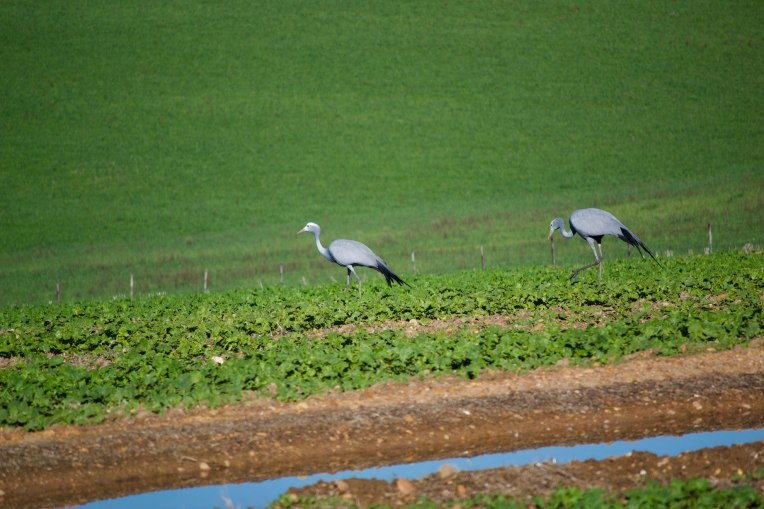 Paradise Cranes in a Field, 6 July 2018. Copyright 2018 Forgotten Fields. All rights reserved.