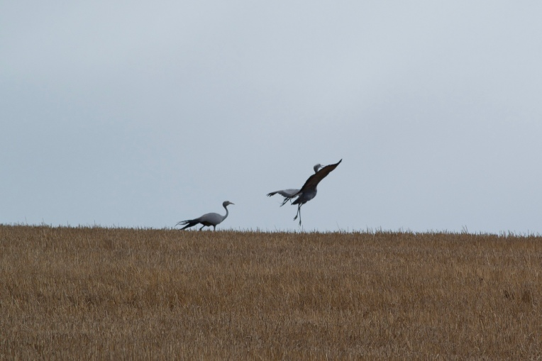 A Leaping Crane, 11 January 2019. Copyright 2019 Forgotten Fields. All rights reserved.