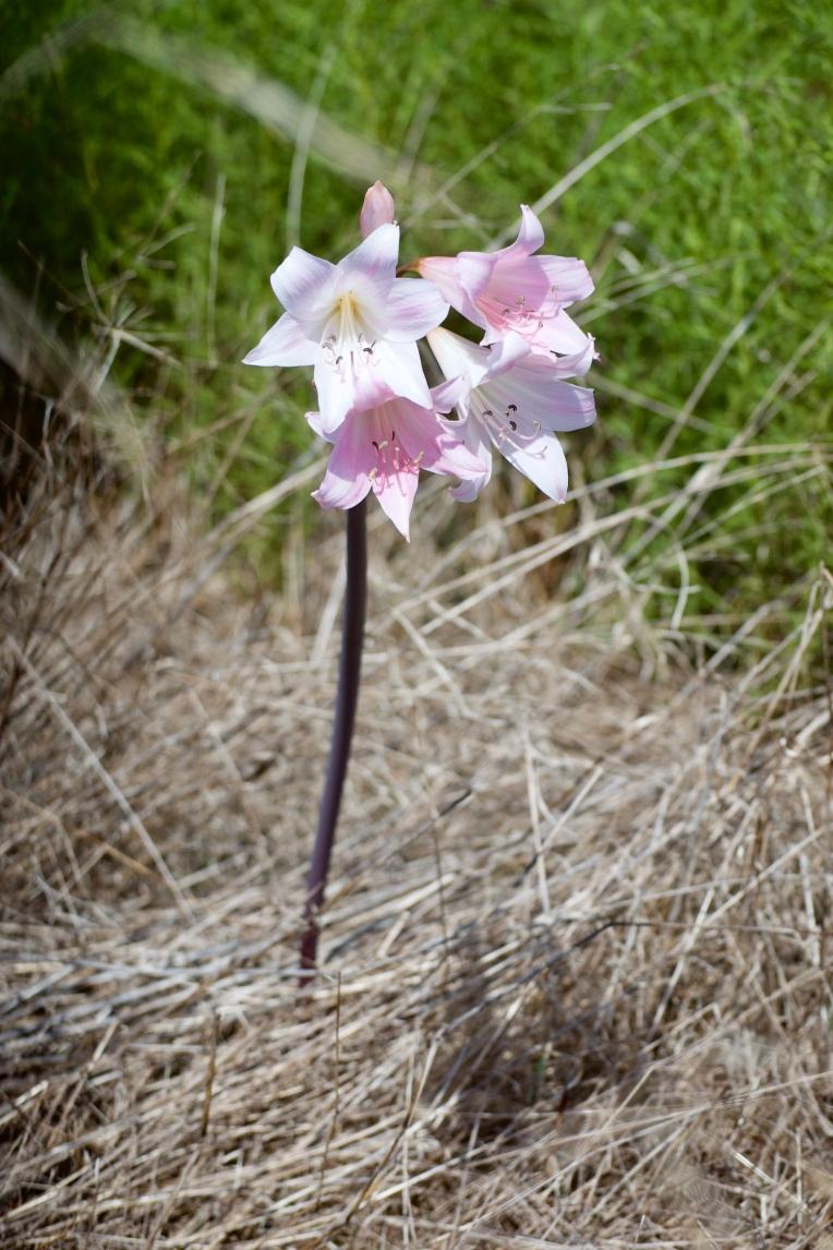 Belladonna lily (Amaryllis belladonna), 15 March 2019. Copyright 2019 Forgotten Fields. All rights reserved.
