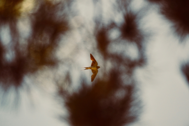 To a Swallow Photograph