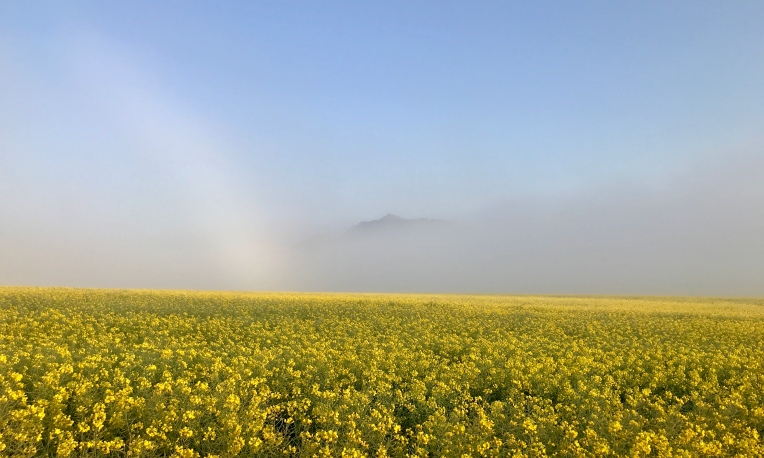 Canola Field in the Morning Mist, 19 August 2019. Copyright 2019 Forgotten Fields. All rights reserved.