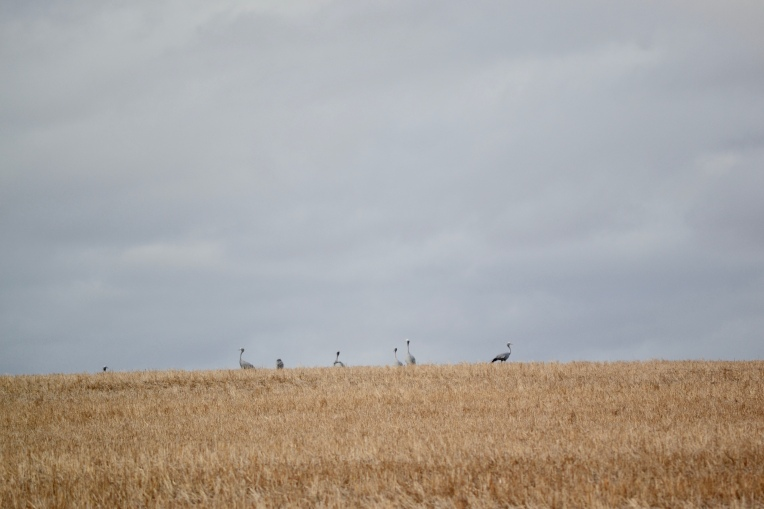 Blue Cranes, 16 March 2018. Copyright 2018 Forgotten Fields. All rights reserved.
