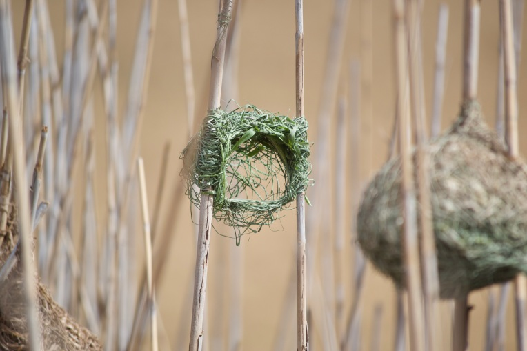 A Southern Red Bishop Nest in the Reeds, 11 October 2019. Copyright 2019 Forgotten Fields. All rights reserved.