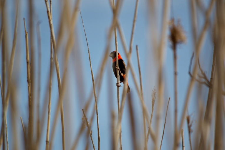 A Southern Red Bishop in the Reeds, 11 October 2019. Copyright 2019 Forgotten Fields. All rights reserved.