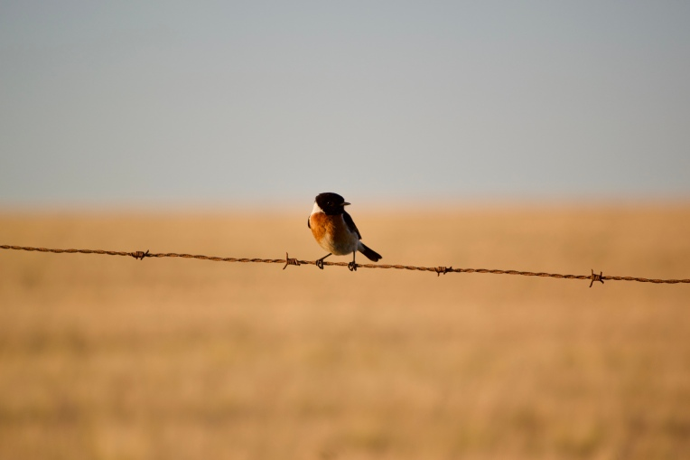 An African Stonechat, 05 October 2019. Copyright 2019 Forgotten Fields. All rights reserved.
