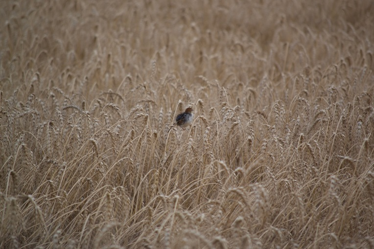 A Bird in the Wheat, 1 November 2019. Copyright 2019 Forgotten Fields. All rights reserved.