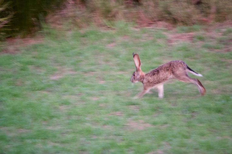 A Cape Hare, 2 February 2020. Copyright 2020 Forgotten Fields. All rights reserved.