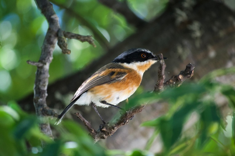 A Cape Batis Female, 10 April 2020. Copyright 2020 Forgotten Fields. All rights reserved.