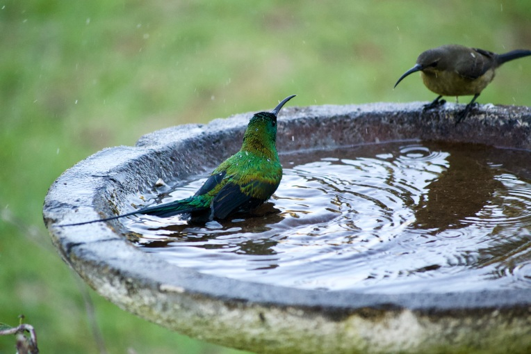 Malachite Sunbirds Bathing, 16 June 2020. Copyright 2020 Forgotten Fields. All rights reserved.