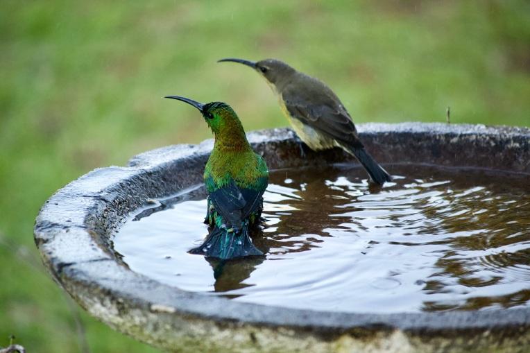 Malachite Sunbirds Bathing, 16 June 2020. Copyright 2020 Forgotten Fields. All rights reserved.