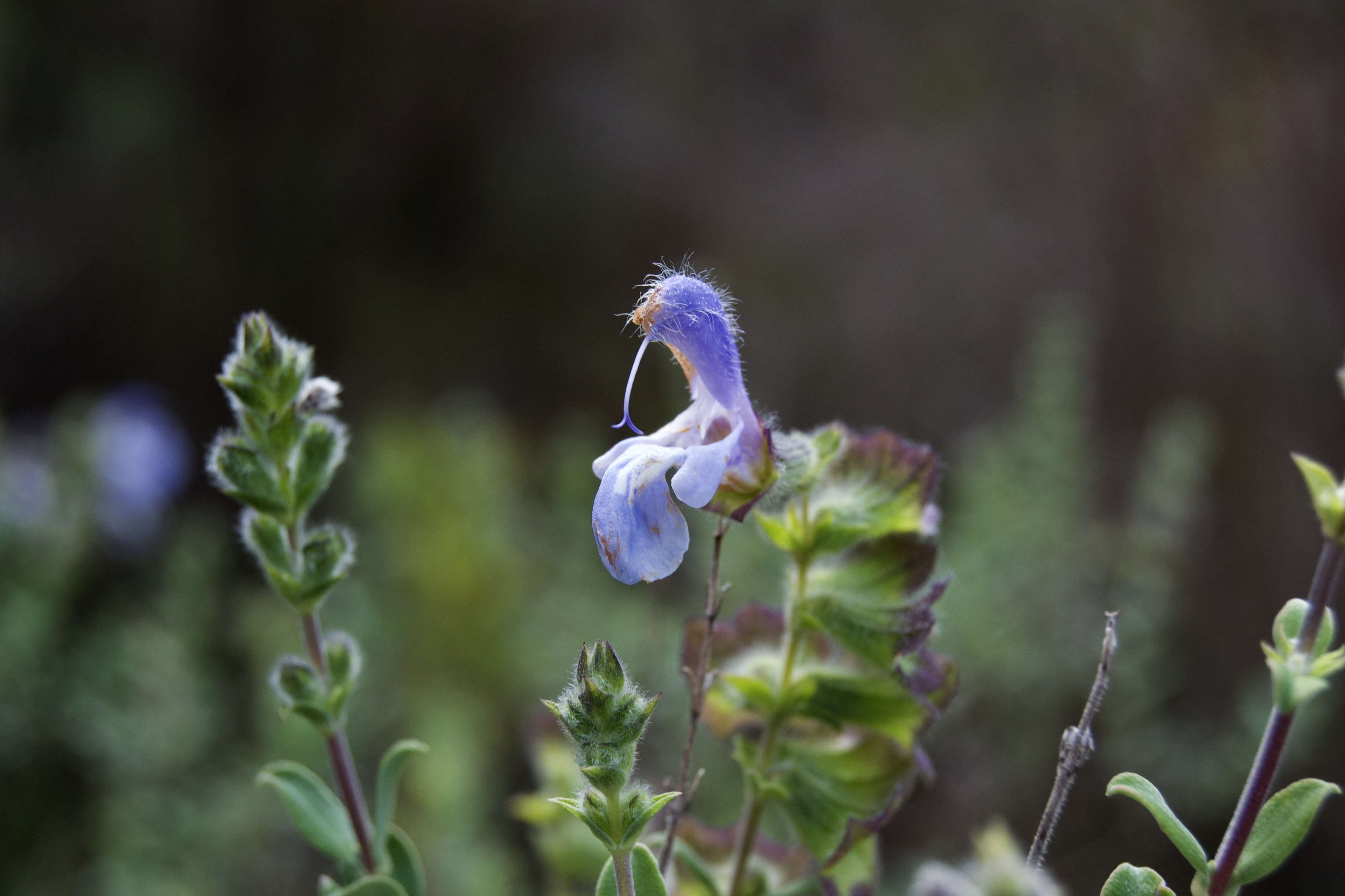 Salvia africana on the Kleinriviersberge, 21 August 2020. Copyright 2020 Forgotten Fields. All rights reserved.