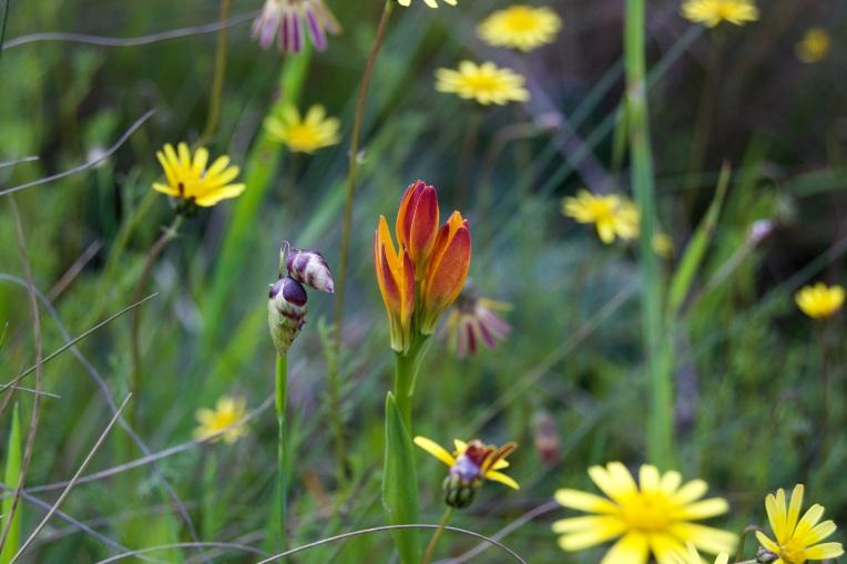 Baeometra uniflora amid Ursinia, 19 September 2020. Copyright 2020 Forgotten Fields. All rights reserved.