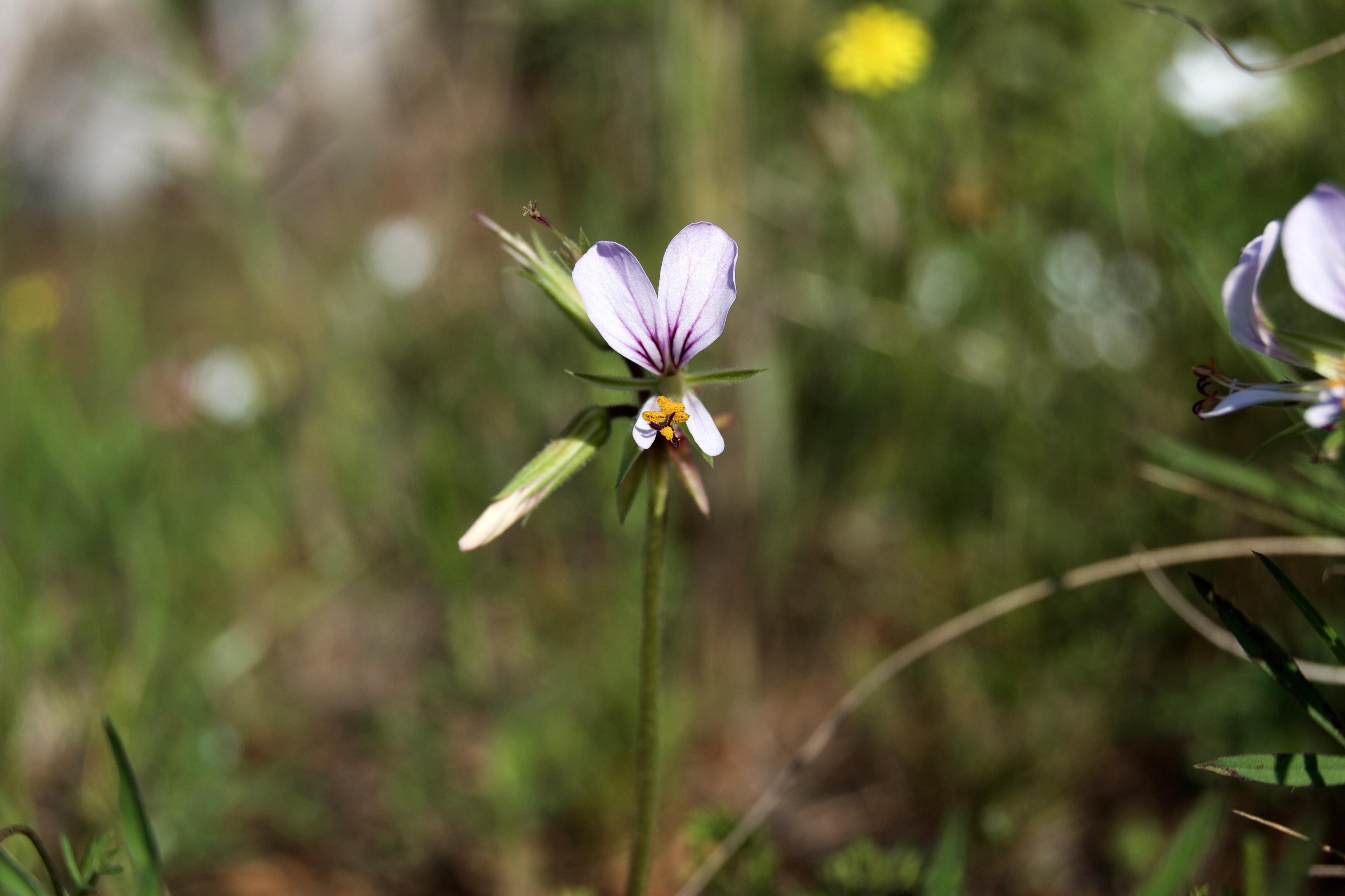 Pelargonium, possibly P. suburbanum, 19 September 2020. Copyright 2020 Forgotten Fields. All rights reserved.