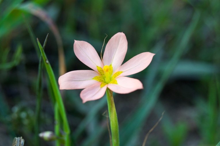 Moraea miniata, 19 September 2020. Copyright 2020 Forgotten Fields. All rights reserved.