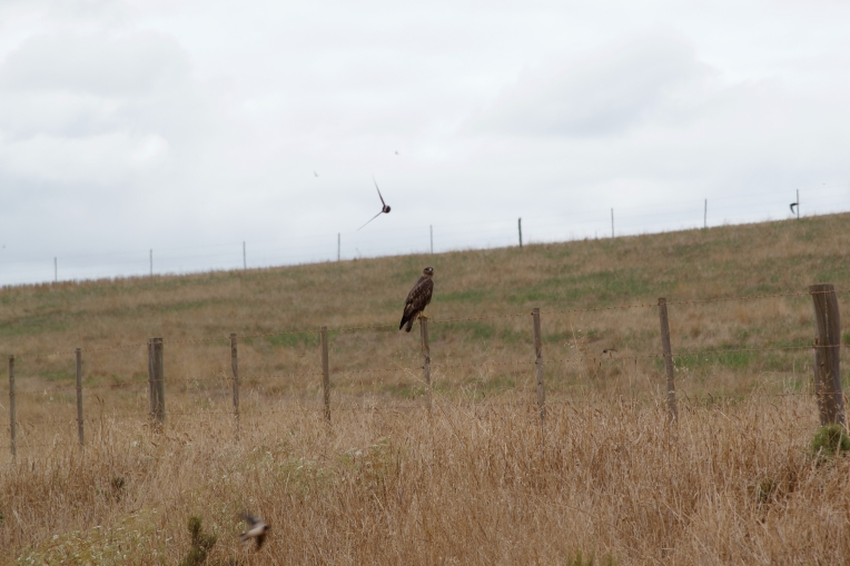 A buzzard with swallows and swifts, 8 January 2021. Copyright 2021 Forgotten Fields. All rights reserved.